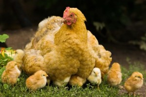 From: http://www.wallpaperage.com/chicken-and-chicks.html
